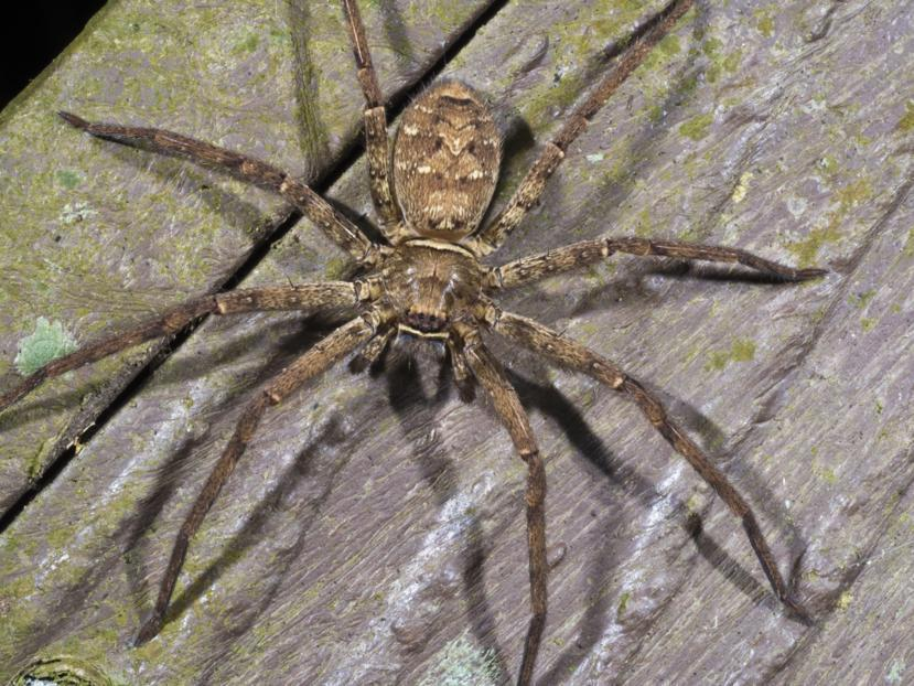 WOLF SPIDER BITES (9 ways to recognize what they are ...