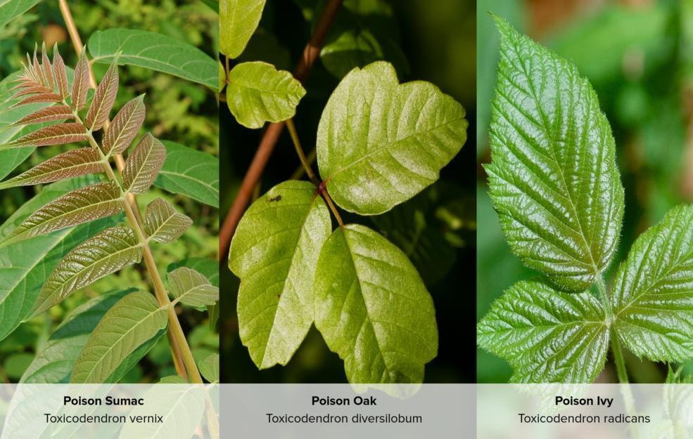 The Differences Between Poison Ivy Poison Oak And Poison Sumac