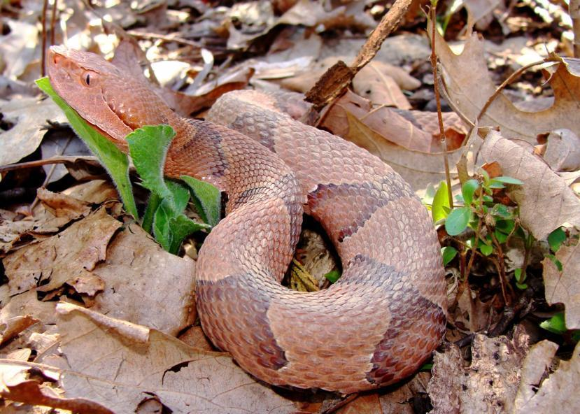 Copperhead Snake Bites What Does It Look Like Article Main